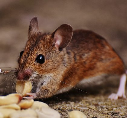 Recognizing Mouse Infestations In and Out your Home