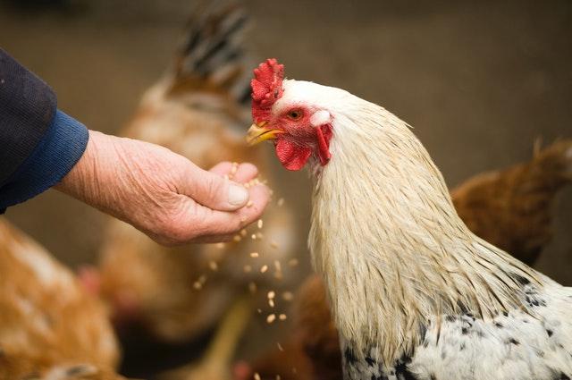 Starter Chicken Feed
